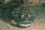 Shorthorn sculpin, Bull-rout (Myoxocephalus scorpius)
